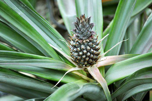 Pineapple, Fruit, Tropical, Young Pineapple, Exotic