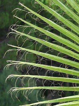 James, Palm Fronds, Washington Palm, Fan Palm