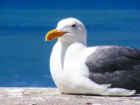 Seagull, Bird, Feather, Water, Ocean, Seagulls, Pacific