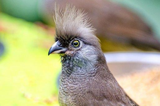 Beak, Beauty, Bird, Brown, Bush, Colius, Colorful, Dull