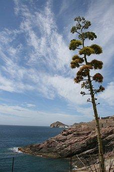 Agave, Flowering, Henequen, Cabo De Gata, Almeria