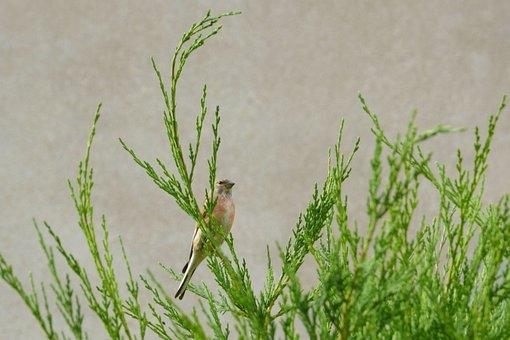 Linnet, Flax Fink, Bird, Hedge, Conifer, Nature, Funny