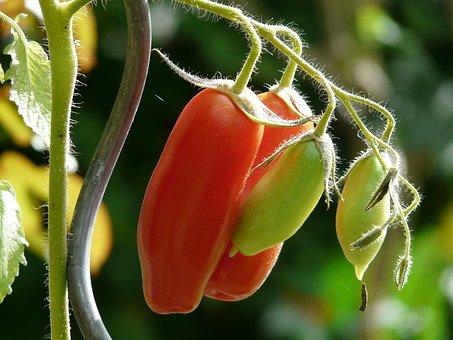 Tomato, Bush Tomato, Vegetables, Red, Ripe, Immature