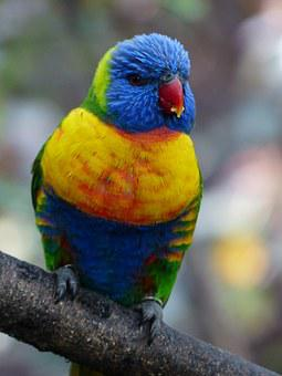 Lori, Parrot, Food, Eat, Bird, Loriinae, Honey Parrot