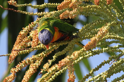 Lorikeet, Bird, Wedge Tail Lori, Trichoglossus Rainbow