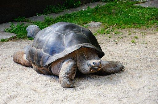 Turtle, Giant Tortoise, Panzer, Armored, Reptile