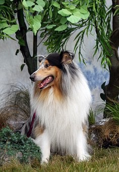 Rough Collie, Collie, Dog, Sable, Merle, Beautiful
