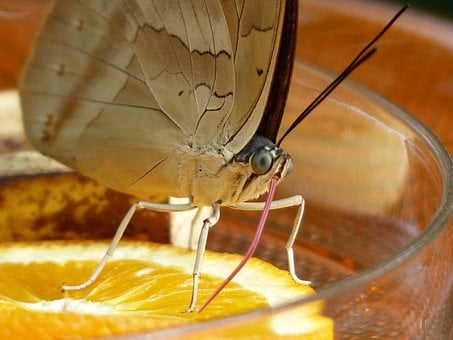 Butterfly, Suction Nozzles, Proboscis, Food Intake