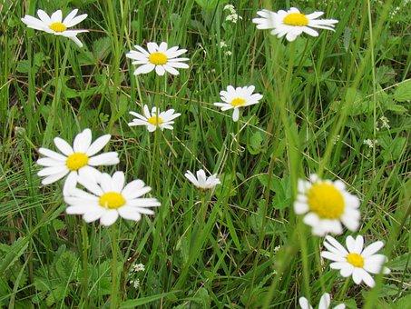 Chamomile, Grass, Genuine Chamomile, Wild Flowers