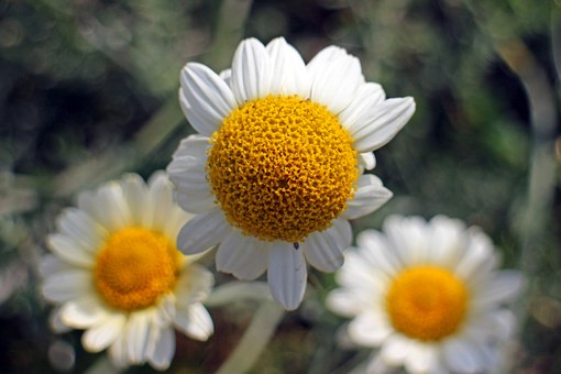 Blossom, Bloom, Chamomile, Composites, Medicinal Plant