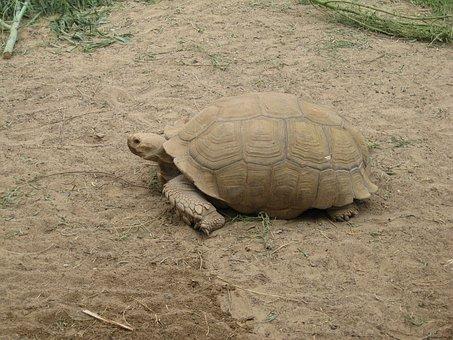 Rießenschildkröte, Turtle, Meeresbewohner