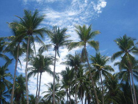 Coconut Trees, Costa Rica, Frond, Coconut, Exotic