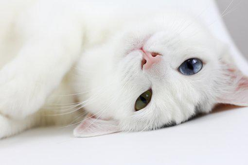 Cat, White Cat, Lay, Pets, Lazy, Different Colored Eyes