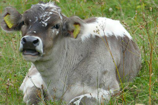 Baby, Cow, Cute, Relaxed, Meadow, Beef, Close, Ruminant