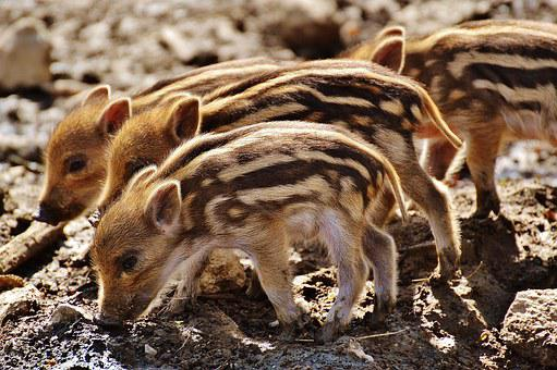 Wild Pigs, Wildpark Poing, Young Animals, Piglet, Pig