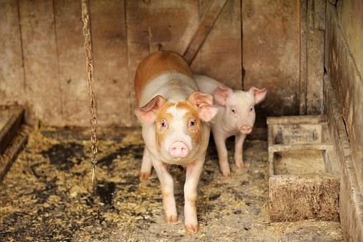 Pig, Wood, Animal, Small, Pork, Farm, Piglet, Nature