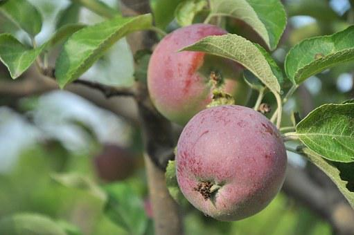 Apple, Garden, Tree, Apple Tree, Ripe, Fruit
