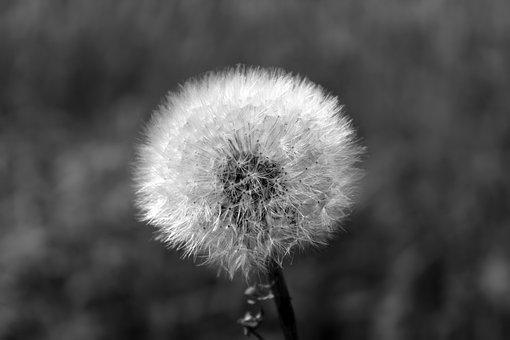Dandelion, Fluffy, Close, Plant, Nature, Blossom, Bloom
