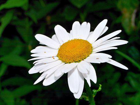 Flower, Blossom, Bloom, Marguerite, Nature, Plant