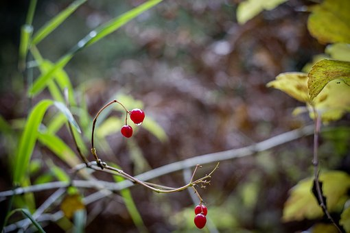 Berries, Autumn, Road, Tree, Branch, Leaves, Red