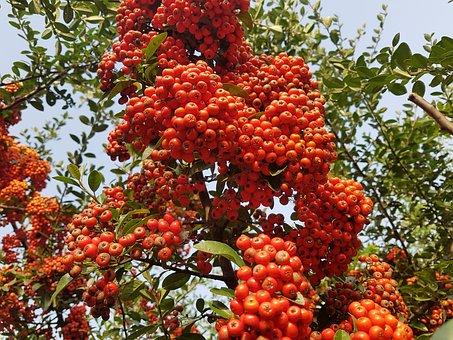 Autumn, Fruit, Nature, Red Berries, Harvest