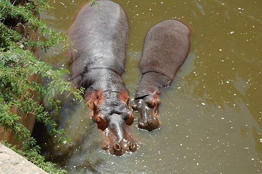 Hippopotamus, Africa, Lake, Park, Hippo, Zoo, Animals