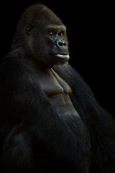Gorilla, Silverback, Ape, Animal, Monkey, Leader, Black