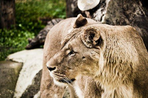 Leo, Zoo, Nature, Feline, Felines, Hair, Animal World