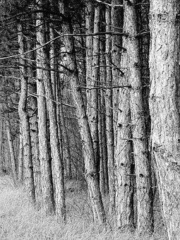 Forest, Autumn, Branch, Barks, Pines, Black And White