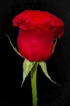 Rosa, Red, Bloom, Rose, Flowers, Rossa, Nature, Petals