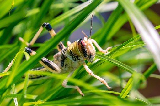 Desert Locust, Schistocerca Gregaria, Grasshopper