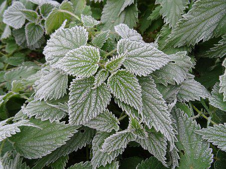 Nettles, Frosted, Garden, Weed