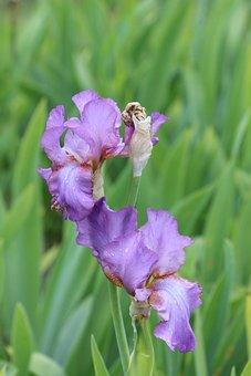 Green, Lilac, Closeup, Plant, Flower, Summer, Iris