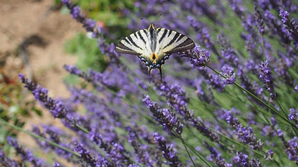 Butterfly, Lavender, Nature, Provence