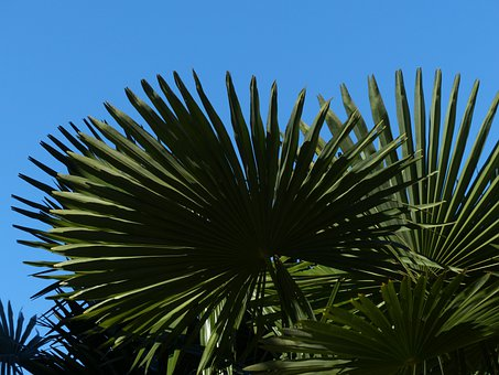 Palm, Tree, Date Palm, Shade Tree, Leaves, Wedel