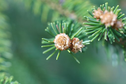 Macro, Needles, Forest, Spruce, Plant, Branch, Closeup