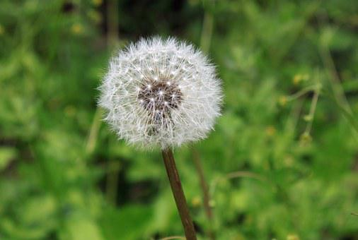 Dandelion, Seed, Weed, Color, Plant, Growth, Nature