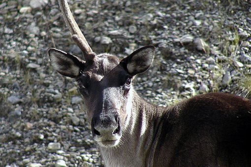 Caribou, Animal, Unicorn, Horn, Creature, Nature
