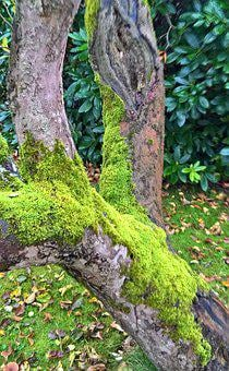 Nature, Old Tree, Apple Tree, Nearly 70 Years Old