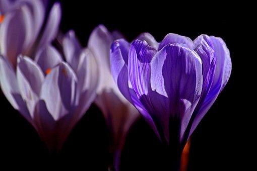 Crocus, Flowers, Flower, Plant, Flora, Close, Spring
