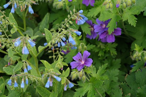 Cranesbill, Blossom, Bloom, Rough Comfrey, Flower, Blue