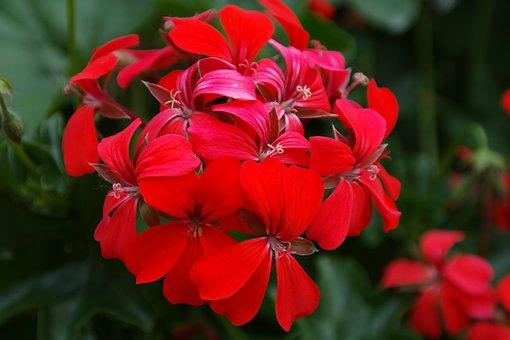 Geranium, Red, Blossom, Bloom, Flower, Flora