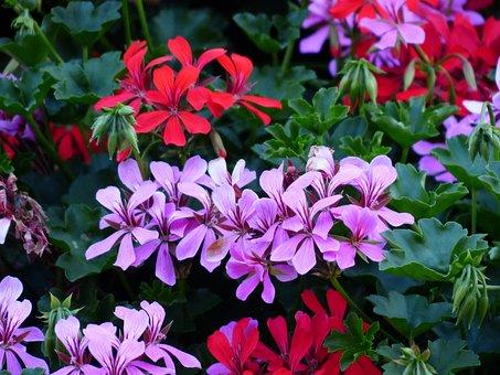 Flowers, Geranium, Plant, Purple, Red, Violet, Colorful