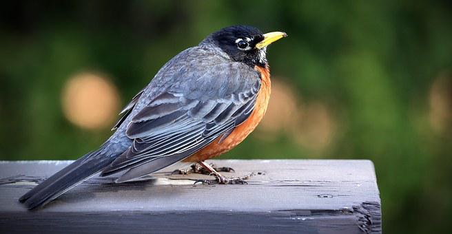 Merle, Bird, Nature, Animals, Pen, Beak, Birds
