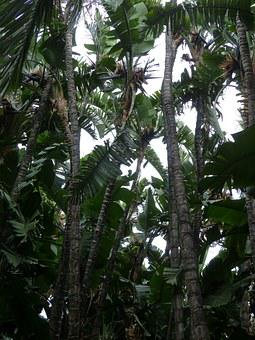 White Caudata, Caudata Forest, Forest, Palm Tree Forest