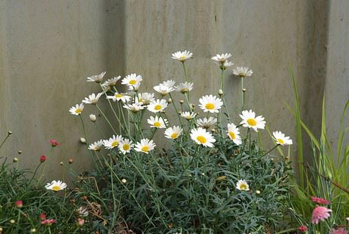 Wild Daisies, Dog Daisies, Fence And Daisies