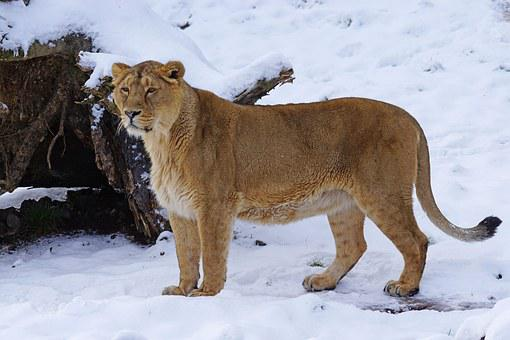 Lion, Indian, Female, Cat, Snow, Winter, Animals