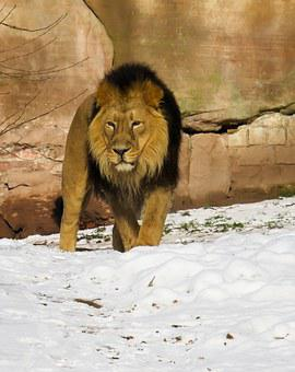 Lion, Predator, Cat, Male, Zoo, Nuremberg, Mane, Winter