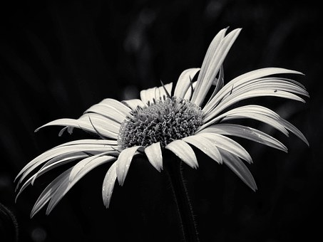 Beauty, Yellow Flower, Black And White, Flower, Garden