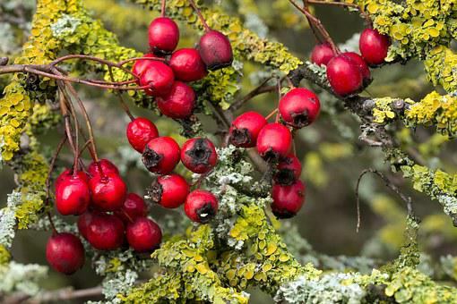 Berries, Red, Hawthorn, Bush, Berry Red